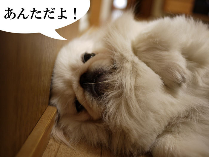 ペキニーズ Blog-白ペキニーズ シロ♂ & 白黒ペキニーズ クロ♀のフォトブログ-2011.8.9.シロ