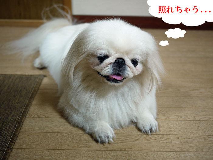 ペキニーズ Blog-白ペキニーズ シロ♂ & 白黒ペキニーズ クロ♀のフォトブログ-2011.8.21.シロ