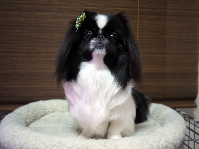ペキニーズ Blog-白ペキニーズ シロ♂ & 白黒ペキニーズ クロ♀のフォトブログ-2011.12.31.クロ