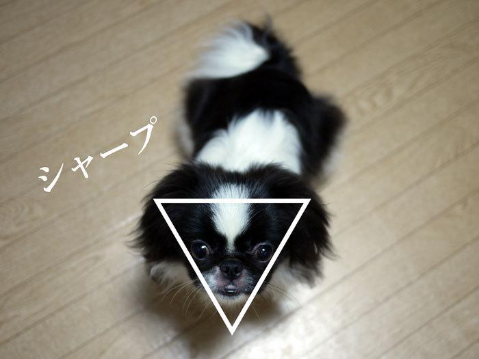 ペキニーズ Blog-白ペキニーズ シロ♂ & 白黒ペキニーズ クロ♀のフォトブログ-2011.8.11.クロ