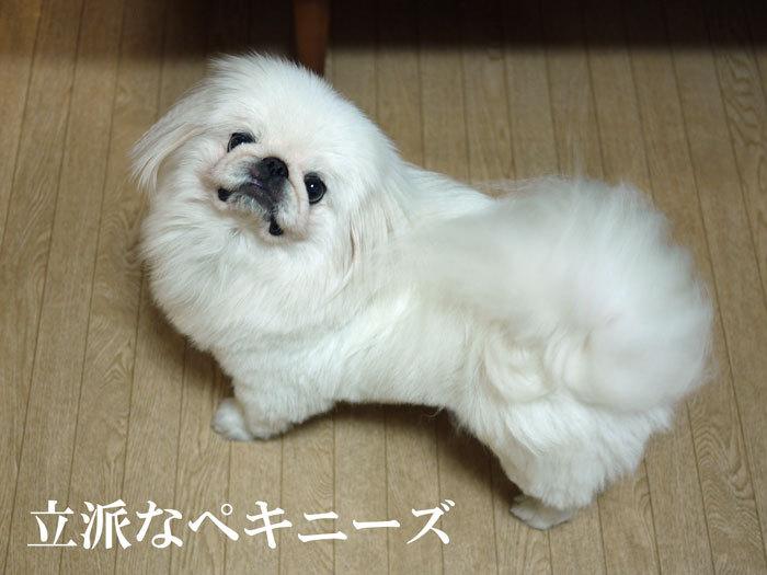 ペキニーズ Blog-白ペキニーズ シロ♂ & 白黒ペキニーズ クロ♀のフォトブログ-2011.8.11.シロ