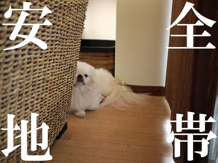 ペキニーズ Blog-白ペキニーズ シロ♂ & 白黒ペキニーズ クロ♀のフォトブログ-2011.9.1.シロ
