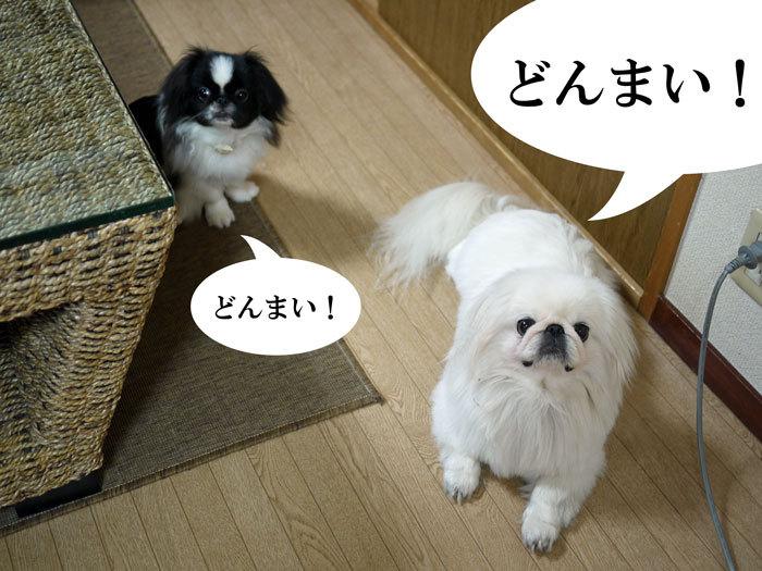 ペキニーズ Blog-白ペキニーズ シロ♂ & 白黒ペキニーズ クロ♀のフォトブログ-2011.9.1.シロクロ