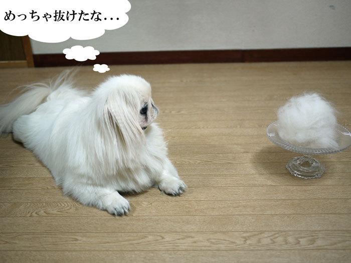 ペキニーズ Blog-白ペキニーズ シロ♂ & 白黒ペキニーズ クロ♀のフォトブログ-2011.8.19.シロ