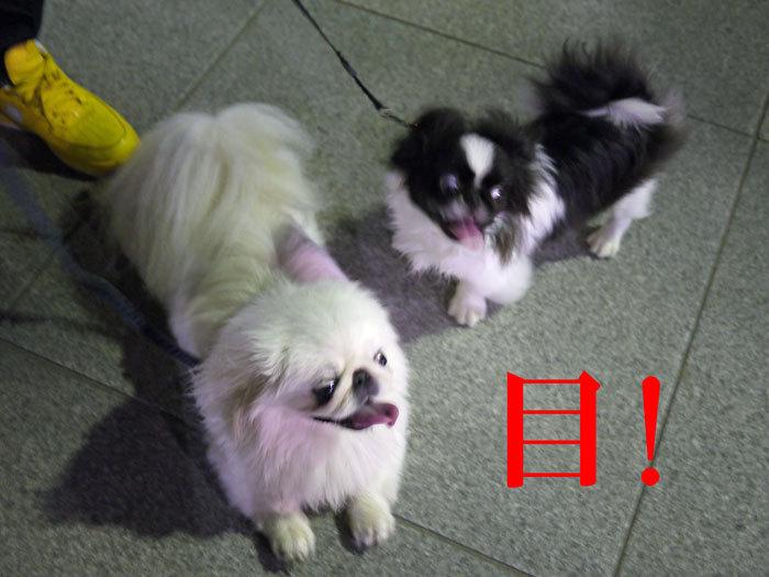 ペキニーズ Blog-白ペキニーズ シロ♂ & 白黒ペキニーズ クロ♀のフォトブログ-2011.8.16.シロクロ