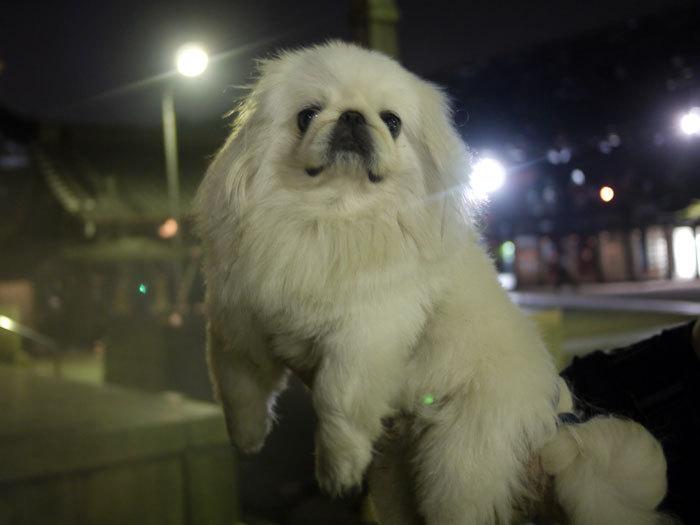 ペキニーズ Blog-白ペキニーズ シロ♂ & 白黒ペキニーズ クロ♀のフォトブログ-2011.8.16.シロ
