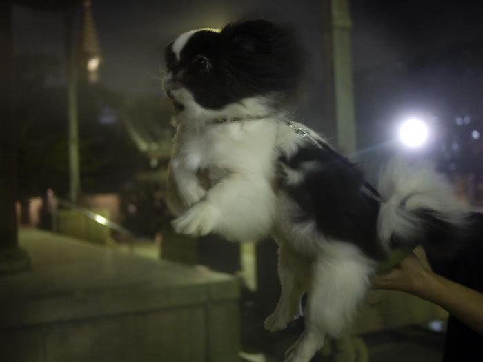 ペキニーズ Blog-白ペキニーズ シロ♂ & 白黒ペキニーズ クロ♀のフォトブログ-2011.8.16.クロ