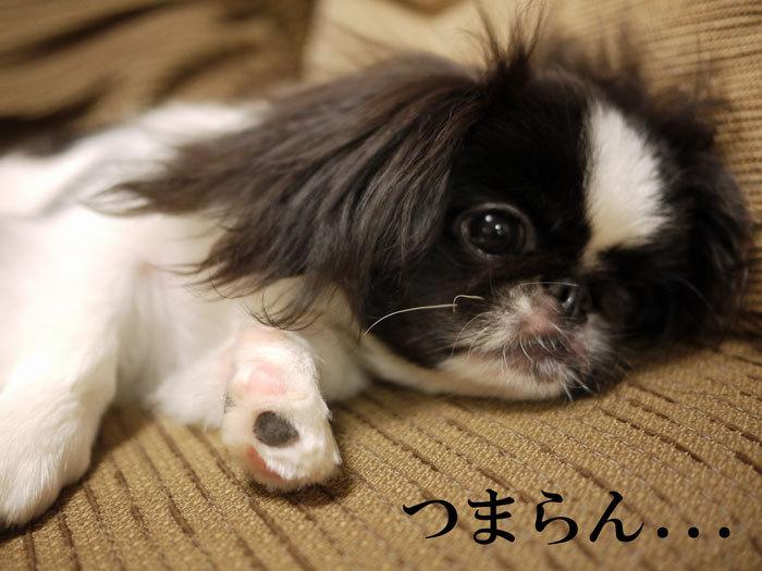 $ペキニーズ Blog-白ペキニーズ シロ♂ & 白黒ペキニーズ クロ♀のフォトブログ-2011.8.23.クロ