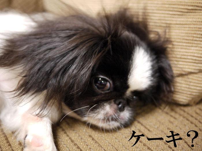 ペキニーズ Blog-白ペキニーズ シロ♂ & 白黒ペキニーズ クロ♀のフォトブログ-2011.8.23.クロ