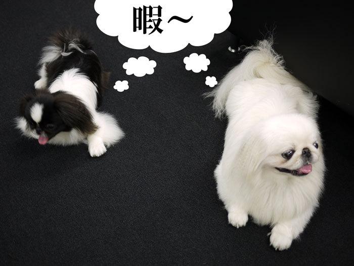 ペキニーズ Blog-白ペキニーズ シロ♂ & 白黒ペキニーズ クロ♀のフォトブログ-2011.8.29.シロクロ