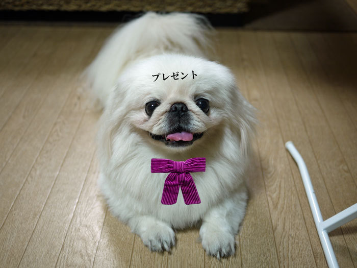 ペキニーズ Blog-白ペキニーズ シロ♂ & 白黒ペキニーズ クロ♀のフォトブログ-2011.8.30.シロ