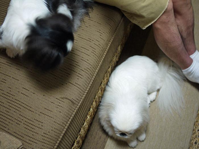 ペキニーズ Blog-白ペキニーズ シロ♂ & 白黒ペキニーズ クロ♀のフォトブログ-2011.8.30.シロクロ