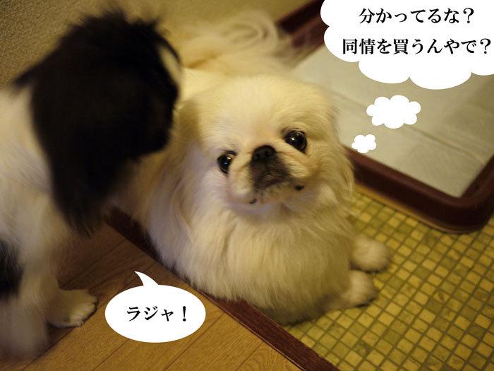 ペキニーズ Blog-白ペキニーズ シロ♂ & 白黒ペキニーズ クロ♀のフォトブログ-2011.9.3.シロクロ