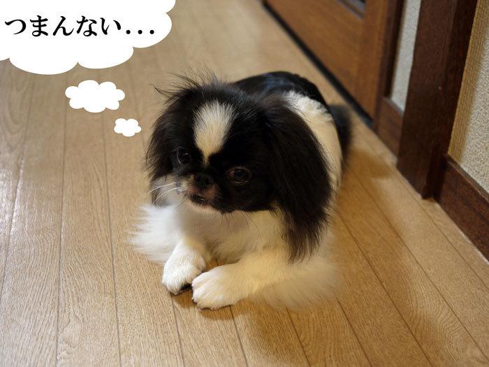ペキニーズ Blog-白ペキニーズ シロ♂ & 白黒ペキニーズ クロ♀のフォトブログ-2011.9.3.クロ