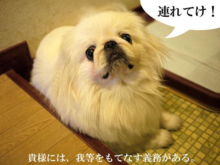 ペキニーズ Blog-白ペキニーズ シロ♂ & 白黒ペキニーズ クロ♀のフォトブログ-2011.9.3.シロ