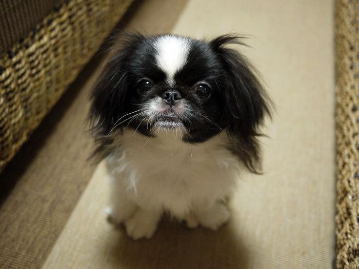 ペキニーズ Blog-白ペキニーズ シロ♂ & 白黒ペキニーズ クロ♀のフォトブログ-2011.9.6.クロ