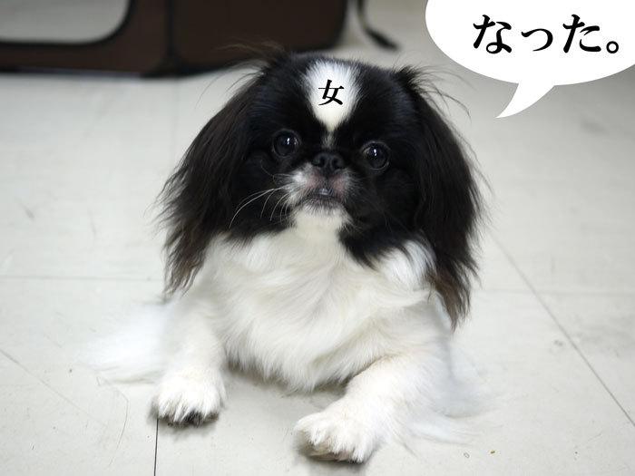 ペキニーズ Blog-白ペキニーズ シロ♂ & 白黒ペキニーズ クロ♀のフォトブログ-2011.9.10.クロ