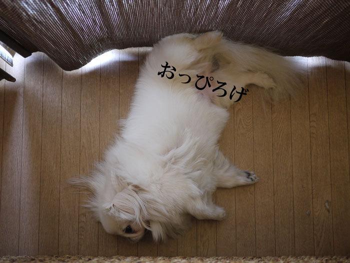 ペキニーズ Blog-白ペキニーズ シロ♂ & 白黒ペキニーズ クロ♀のフォトブログ-2011.9.11.シロ