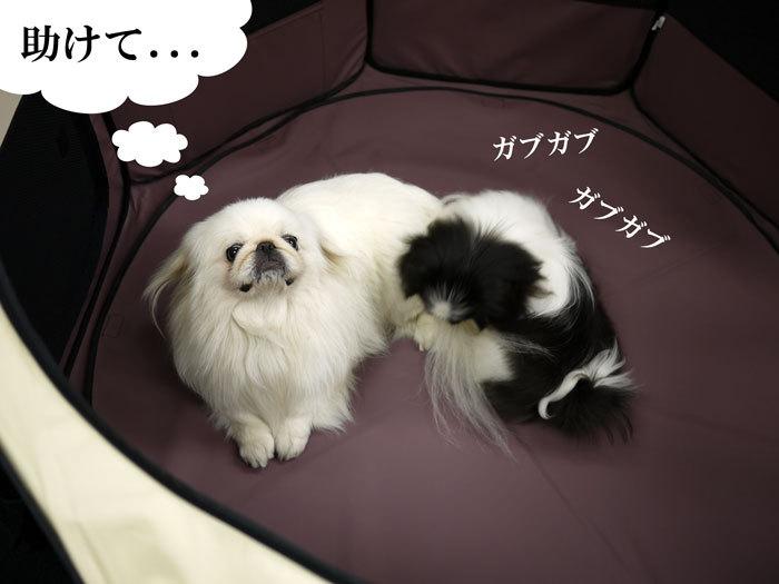 ペキニーズ Blog-白ペキニーズ シロ♂ & 白黒ペキニーズ クロ♀のフォトブログ-2011.9.13.シロクロ