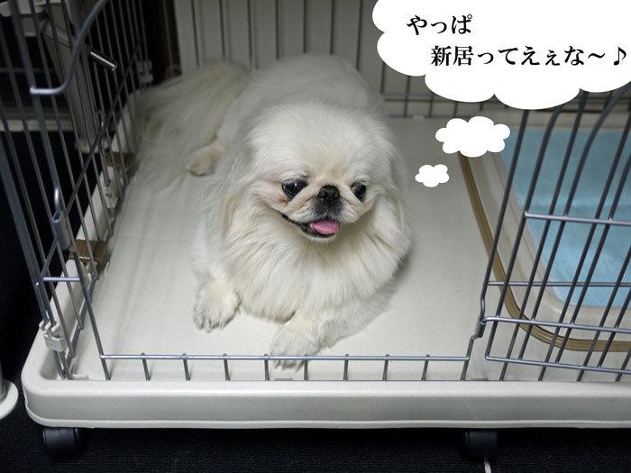 ペキニーズ Blog-白ペキニーズ シロ♂ & 白黒ペキニーズ クロ♀のフォトブログ-2011.9.13.シロ