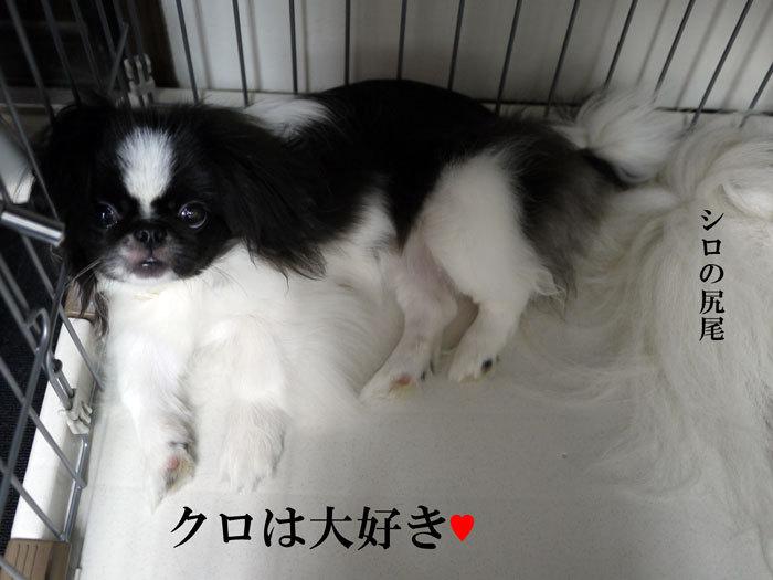 ペキニーズ Blog-白ペキニーズ シロ♂ & 白黒ペキニーズ クロ♀のフォトブログ-2011.9.13.クロ