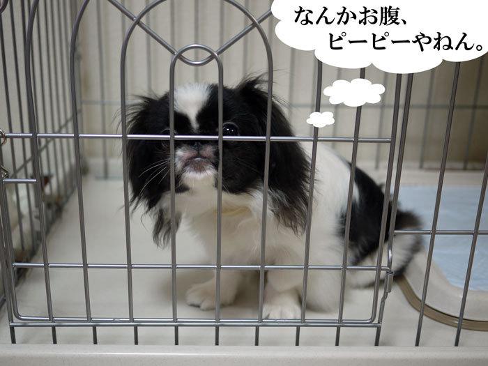 ペキニーズ Blog-白ペキニーズ シロ♂ & 白黒ペキニーズ クロ♀のフォトブログ-2011.9.16.クロ