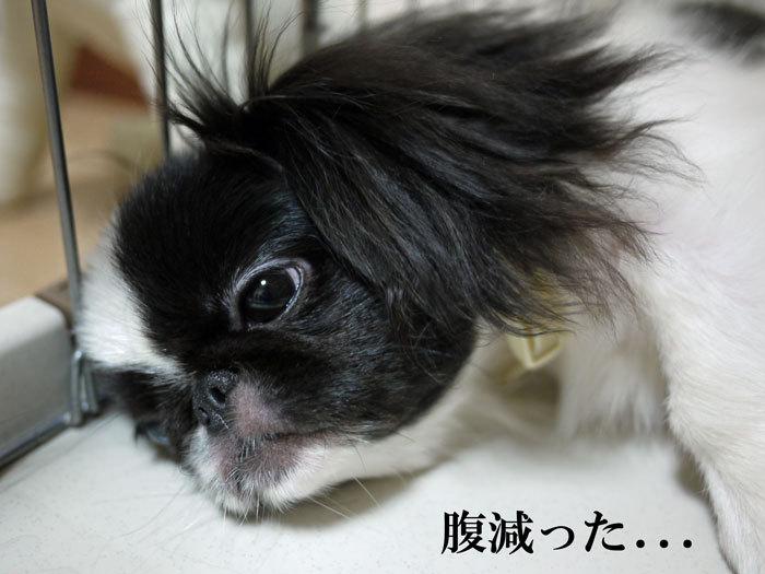 ペキニーズ Blog-白ペキニーズ シロ♂ & 白黒ペキニーズ クロ♀のフォトブログ-2011.9.18.クロ