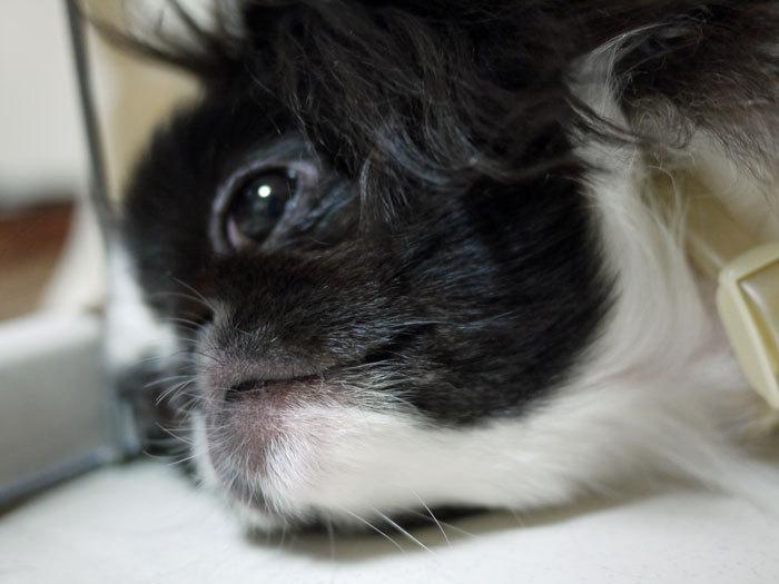 $ペキニーズ Blog-白ペキニーズ シロ♂ & 白黒ペキニーズ クロ♀のフォトブログ-2011.9.18.クロ