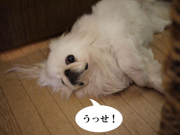 ペキニーズ Blog-白ペキニーズ シロ♂ & 白黒ペキニーズ クロ♀のフォトブログ-2011.9.18.シロ