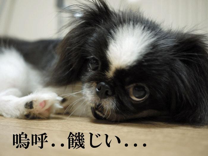 ペキニーズ Blog-白ペキニーズ シロ♂ & 白黒ペキニーズ クロ♀のフォトブログ-2011.9.20.クロ