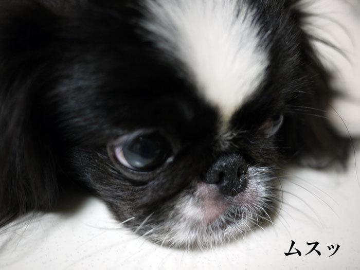 $ペキニーズ Blog-白ペキニーズ シロ♂ & 白黒ペキニーズ クロ♀のフォトブログ-2011.9.20.クロ