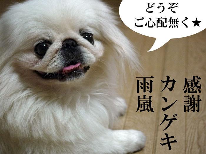 ペキニーズ Blog-白ペキニーズ シロ♂ & 白黒ペキニーズ クロ♀のフォトブログ-2011.9.20.シロ