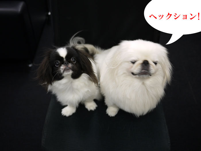 ペキニーズ Blog-白ペキニーズ シロ♂ & 白黒ペキニーズ クロ♀のフォトブログ-2011.9.22.シロクロ