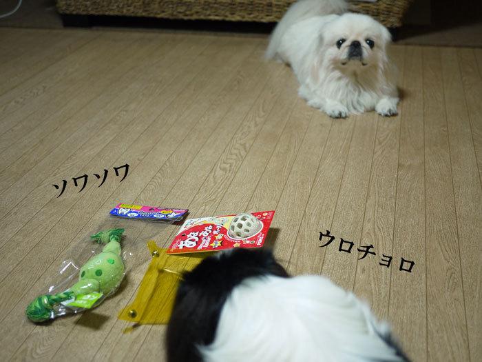 ペキニーズ Blog-白ペキニーズ シロ♂ & 白黒ペキニーズ クロ♀のフォトブログ-2011.9.27.シロクロ