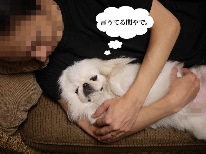 ペキニーズ Blog-白ペキニーズ シロ♂ & 白黒ペキニーズ クロ♀のフォトブログ-2011.9.28.シロ