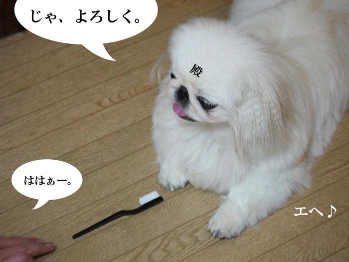 ペキニーズ Blog-白ペキニーズ シロ♂ & 白黒ペキニーズ クロ♀のフォトブログ-2011.9.30.シロ