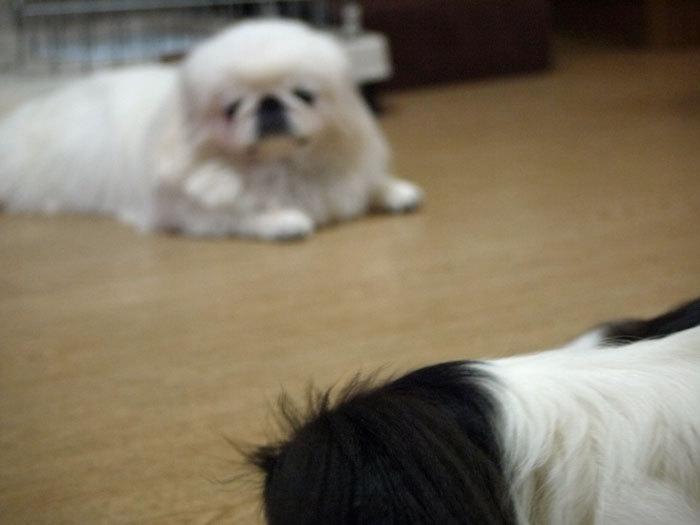 ペキニーズ Blog-白ペキニーズ シロ♂ & 白黒ペキニーズ クロ♀のフォトブログ-2011.9.30.シロクロ