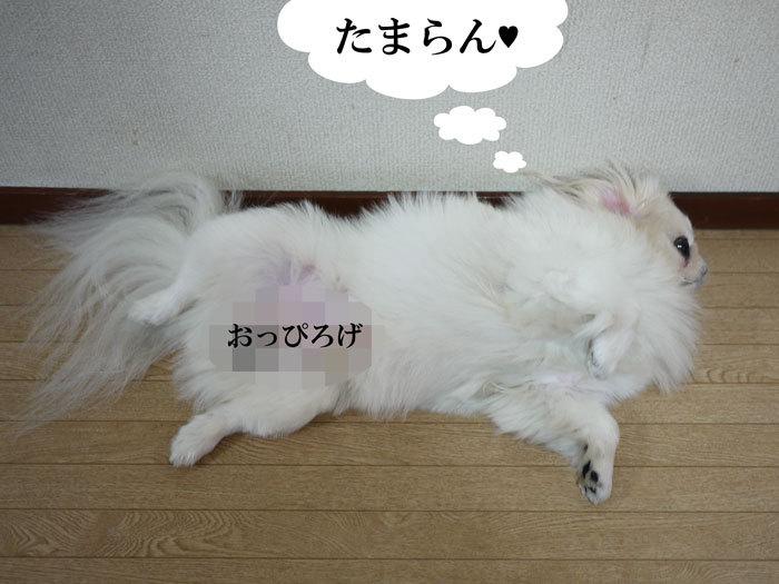 ペキニーズ Blog-白ペキニーズ シロ♂ & 白黒ペキニーズ クロ♀のフォトブログ-2011.10.4.シロ