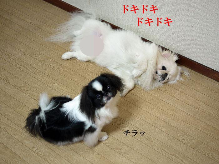 ペキニーズ Blog-白ペキニーズ シロ♂ & 白黒ペキニーズ クロ♀のフォトブログ-2011.10.4.シロクロ