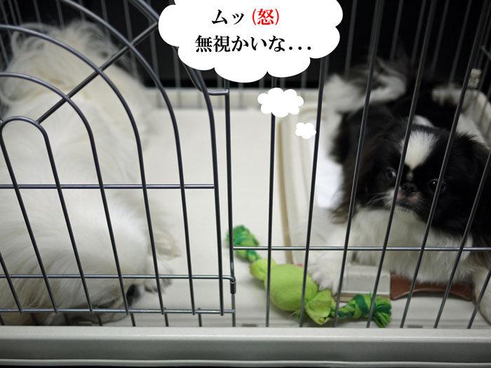 ペキニーズ Blog-白ペキニーズ シロ♂ & 白黒ペキニーズ クロ♀のフォトブログ-2011.10.5.シロクロ