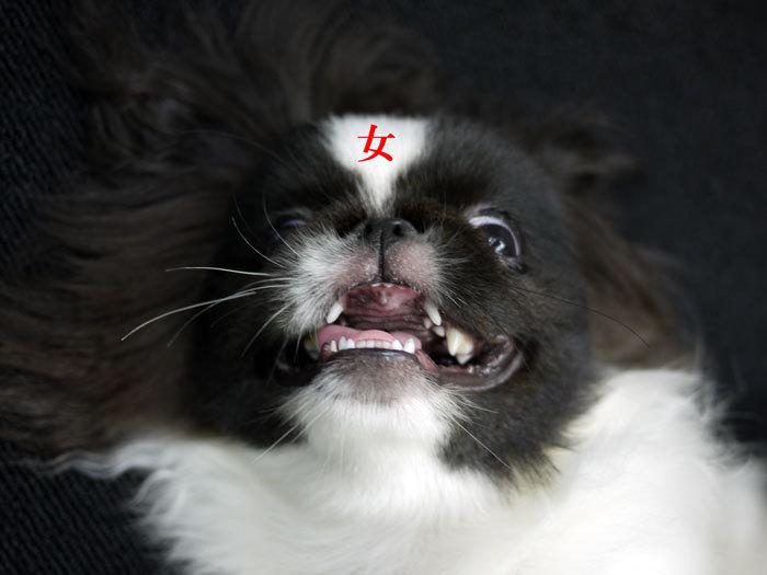 ペキニーズ Blog-白ペキニーズ シロ♂ & 白黒ペキニーズ クロ♀のフォトブログ-2011.10.5.クロ魔女