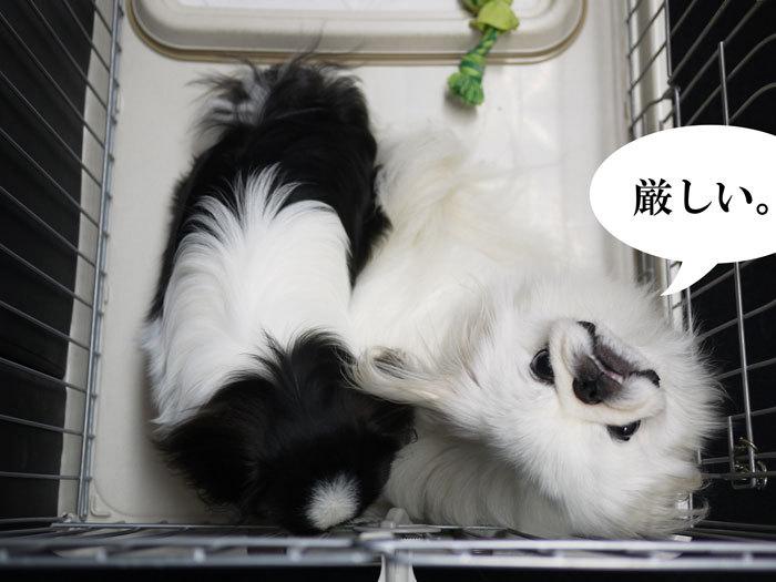 ペキニーズ Blog-白ペキニーズ シロ♂ & 白黒ペキニーズ クロ♀のフォトブログ-2011.10.7.シロクロ