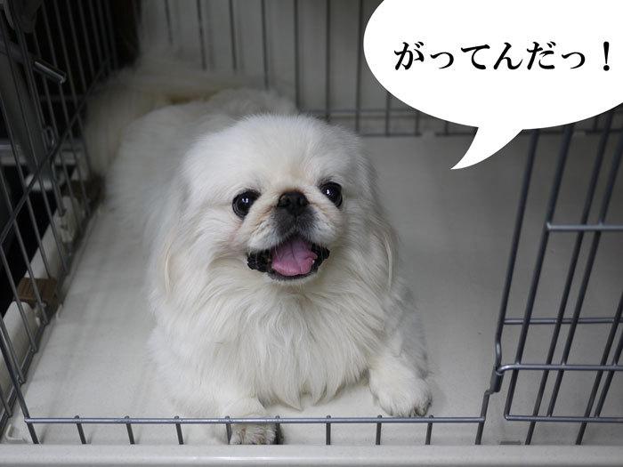 ペキニーズ Blog-白ペキニーズ シロ♂ & 白黒ペキニーズ クロ♀のフォトブログ-2011.10.7.シロ