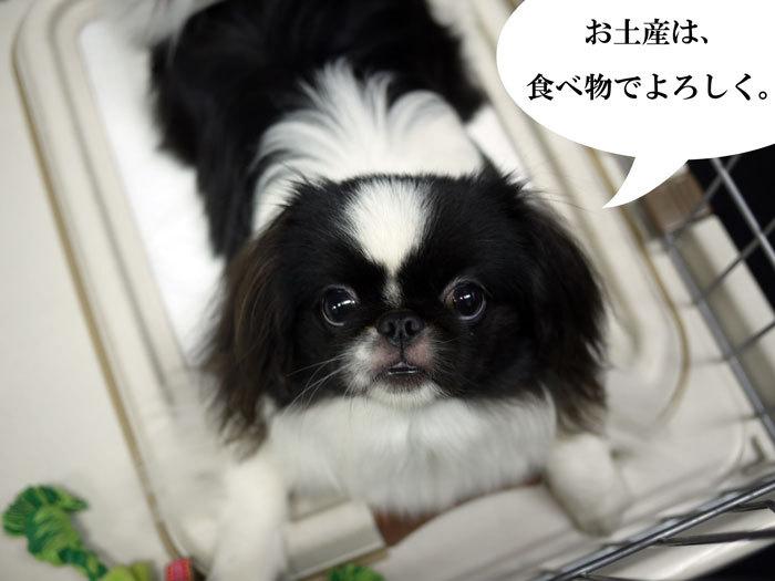 ペキニーズ Blog-白ペキニーズ シロ♂ & 白黒ペキニーズ クロ♀のフォトブログ-2011.10.7.クロ