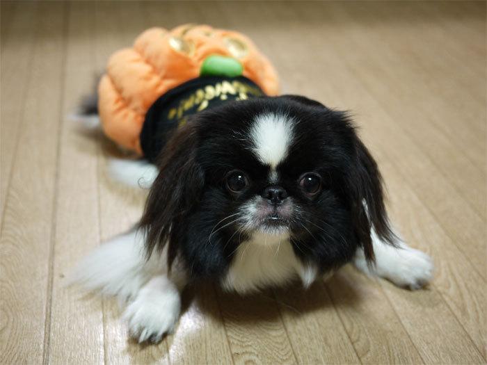 ペキニーズ Blog-白ペキニーズ シロ♂ & 白黒ペキニーズ クロ♀のフォトブログ-2011.10.31.クロ