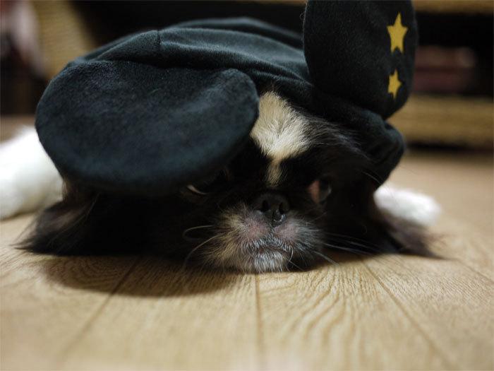 $ペキニーズ Blog-白ペキニーズ シロ♂ & 白黒ペキニーズ クロ♀のフォトブログ-2011.10.31.クロ