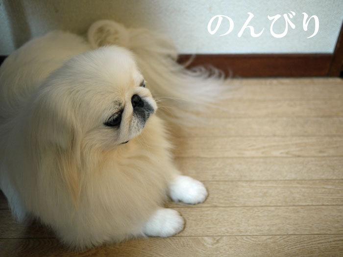 ペキニーズ Blog-白ペキニーズ シロ♂ & 白黒ペキニーズ クロ♀のフォトブログ-2011.11.3.シロ