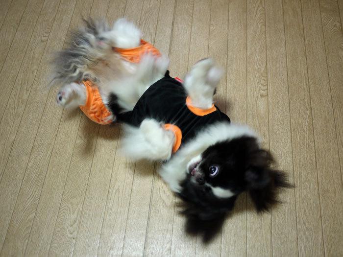 ペキニーズ Blog-白ペキニーズ シロ♂ & 白黒ペキニーズ クロ♀のフォトブログ-2011.11.3.クロ