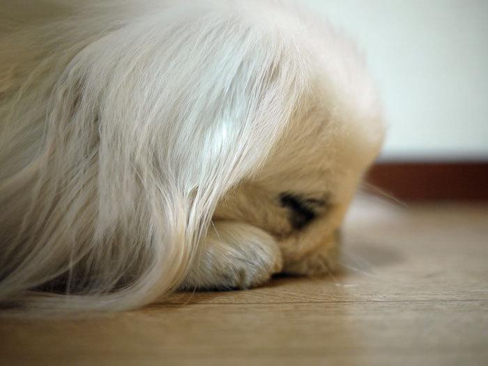 ペキニーズ Blog-白ペキニーズ シロ♂ & 白黒ペキニーズ クロ♀のフォトブログ-2011.11.7.シロ