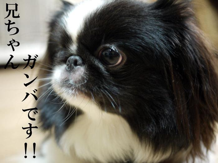 $ペキニーズ Blog-白ペキニーズ シロ♂ & 白黒ペキニーズ クロ♀のフォトブログ-2011.11.7.クロ